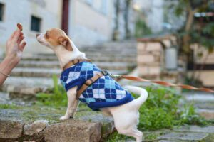 winter coat for chihuahua