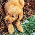 What Is A Goldendoodle? GoldenDoodle Dog Breed Review