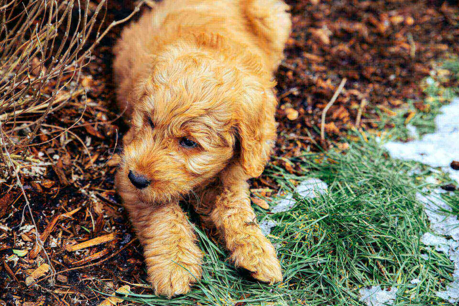 What is a goldendoodle