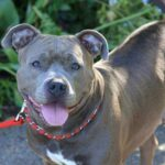 Blue Eyed Pitbull : Cost, Rare, 8 Best Breeds With Blue Eyes