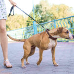 Dog Refuses To Walk : 5 Solid Reasons, How To Make Dog Walk