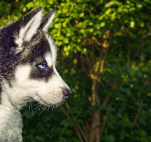 husky whining - husky whines a lot