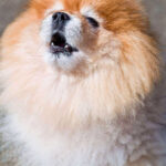 Puppy Howling : Why Your Puppy Howls, 3 Easy Ways To Stop