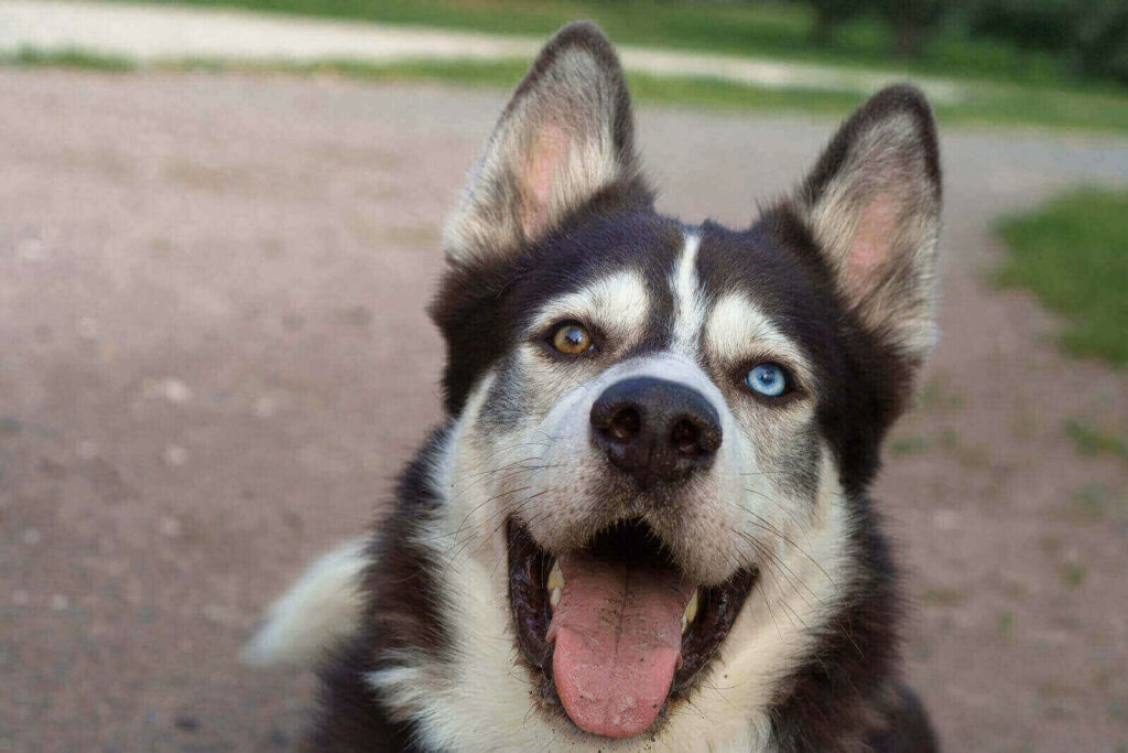 why do huskies have different colored eyes - husky eye colors