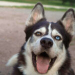 Why Do Huskies Have Different Colored Eyes? 3 Rare Husky Eye Colors