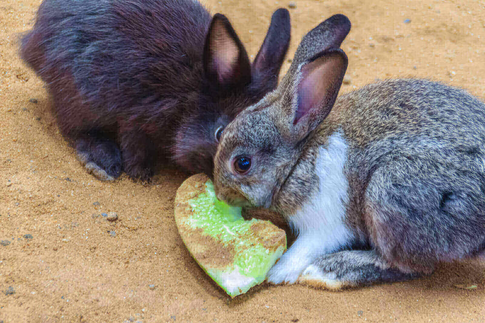 Can Rabbits Eat Cucumbers Daily