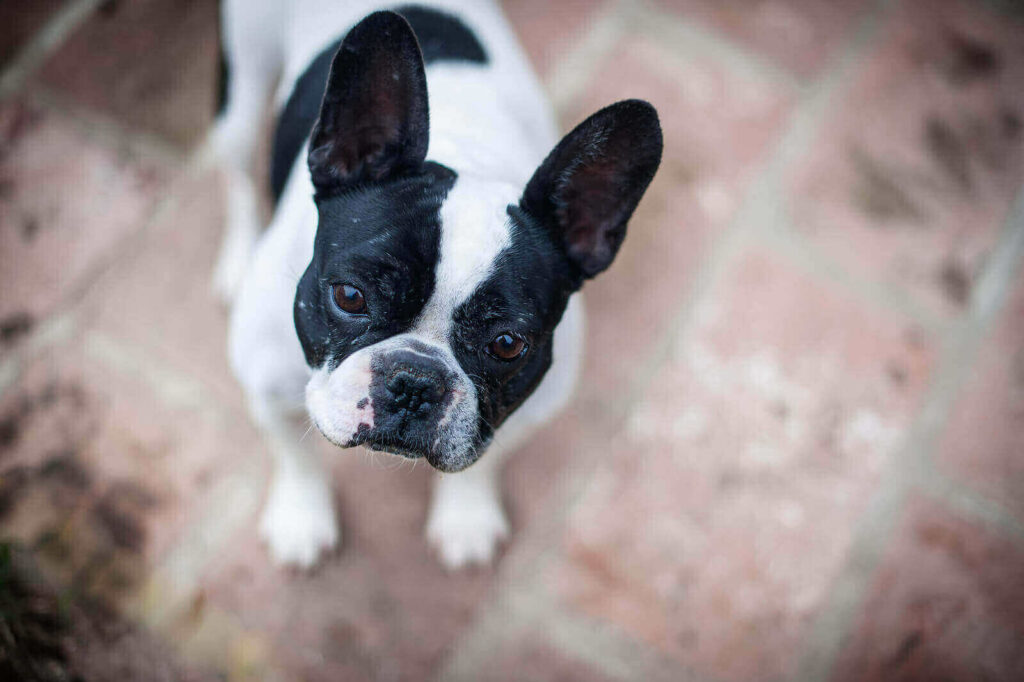 French bulldog colors black and white