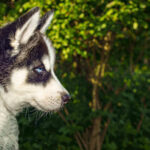 Why Is My Husky So Small? 5 Best Tips To Get Husky Grow Fast
