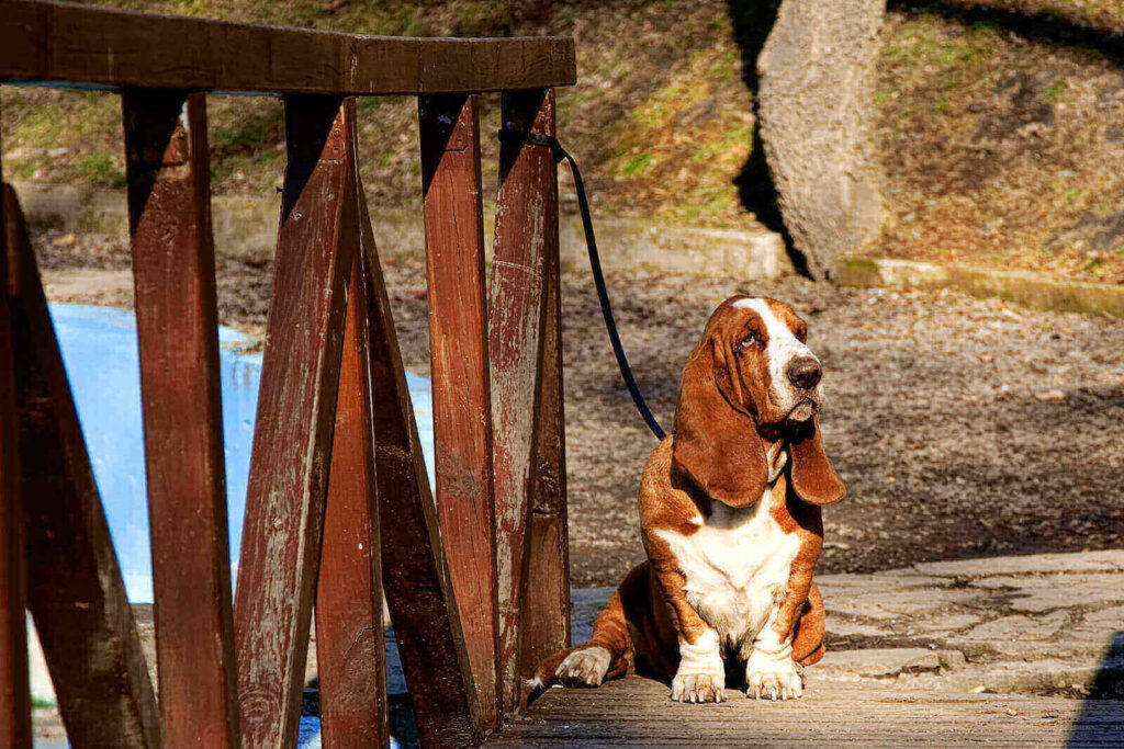 basset hound colors and markings