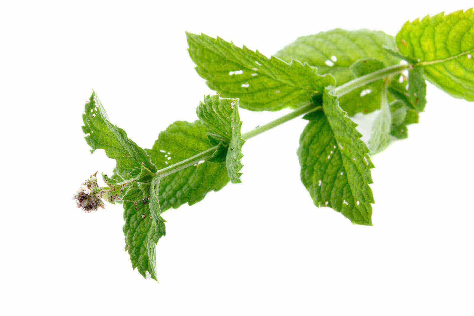Can Dogs eat peppermint - Do Dogs like peppermint