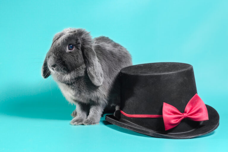 Holland Lop Price - How much are lop bunnies