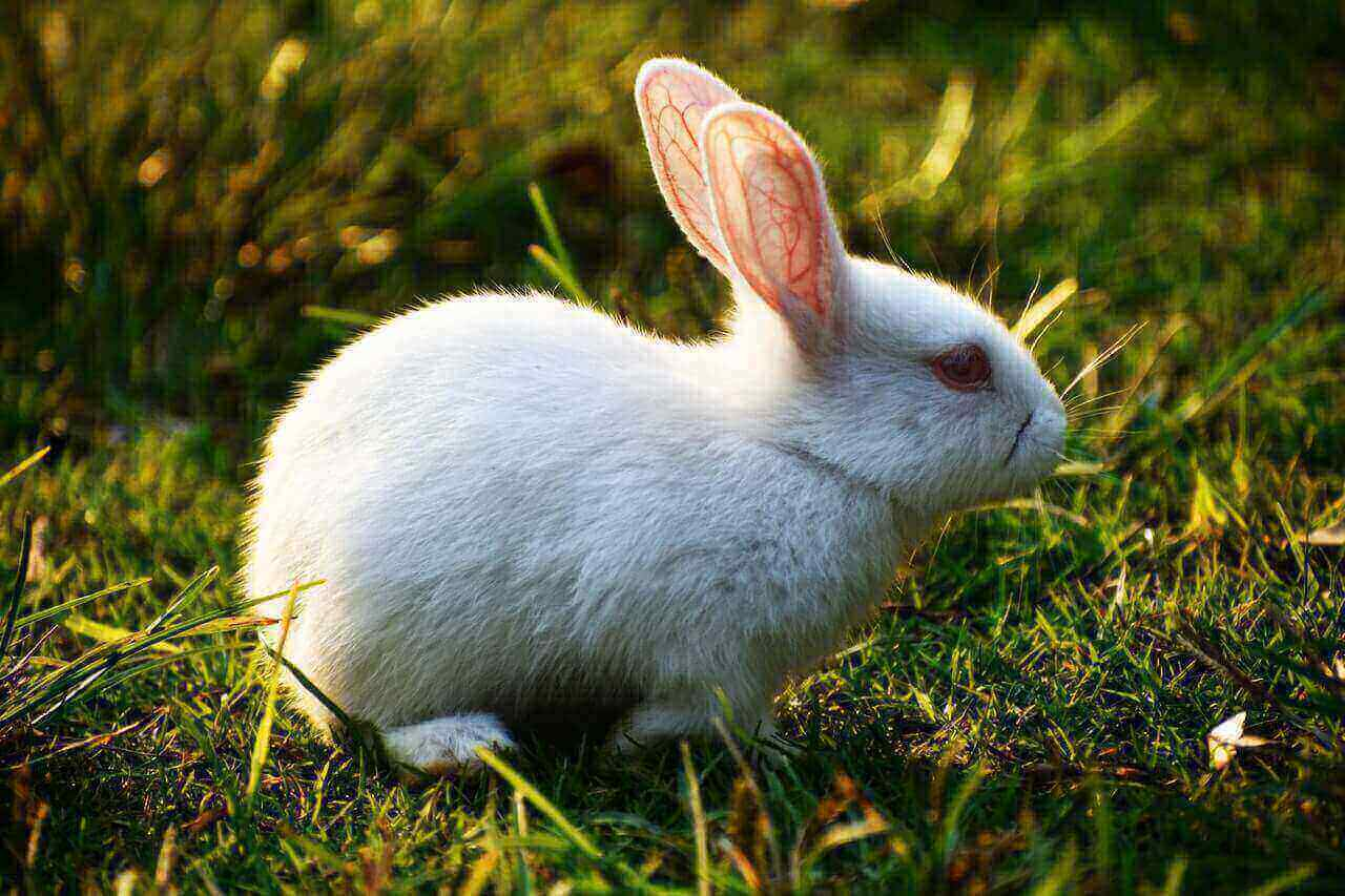 How much does it cost to neuter a rabbit