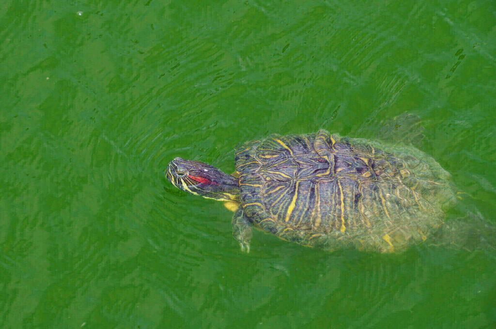 Red eared turtle tank - 100 gallon turtle tank