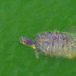 Red Eared Slider Tank : Is 100 Gallon Turtle Tank The Best For Your Pet Turtle?