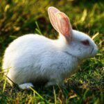 White Rabbit with Red Eyes : 5 Cool Albino Rabbits Breed