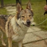 Can Dogs Mate With Wolves? 3 Smart Signs For Dog And Wolf Mating Compatibility