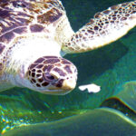 How Long Can Turtles Go Without Eating? 3 Best Feeding Plan By Turtle Age