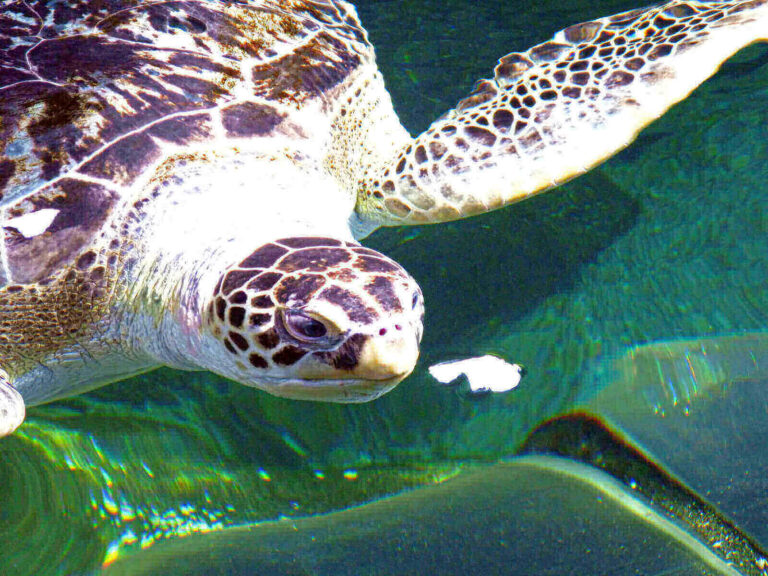 how long can turtles go without eating food