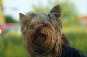is a yorkshire terrier hypoallergenic and cause allergies