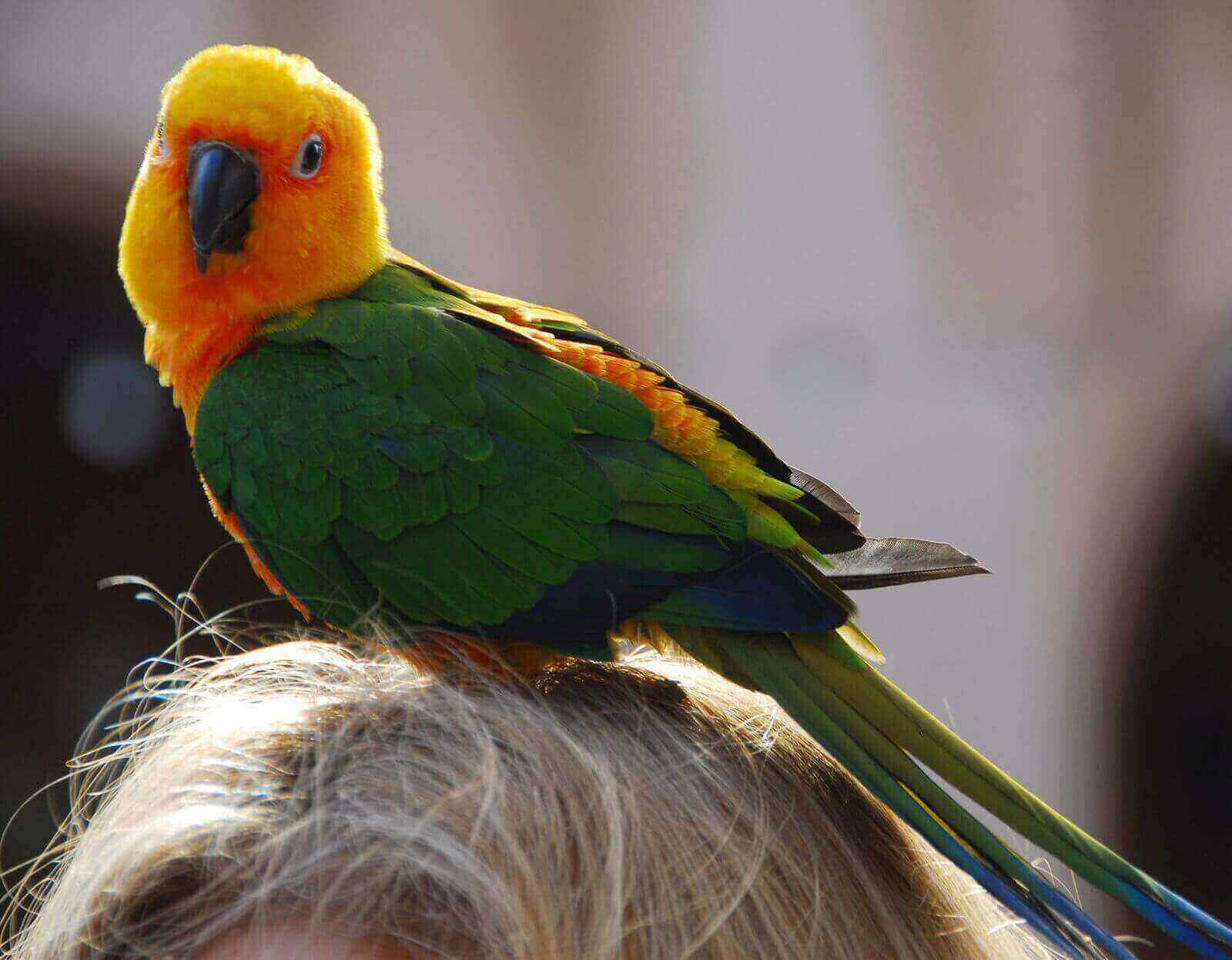 How long do parakeets live as pets