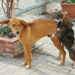 How To Get Dogs Unstuck? 4 Censored Mating Stages Clearly Explained