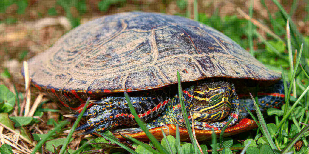 Painted turtle diet - what do baby painted turtles eat