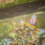 Painted Turtle Tank Step And Size : 7 Interesting Tips For Ideal Tank