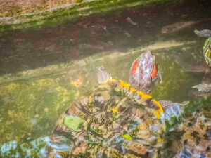 Painted Turtle Tank Step And Size