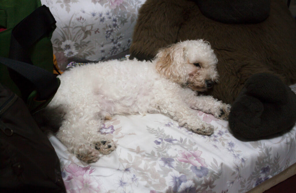Poodle Eye Boogers - poodle eye discharge - how to clean poodle eye discharge