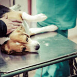 When To Euthanize A Dog With Tracheal Collapse? 4 Conclusive Canine Tracheal Collapse Stages