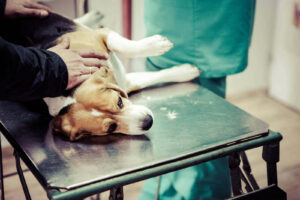 When to euthanize a dog with tracheal collapse - collapsing trachea when to say goodbye - my dog died of collapsed trachea