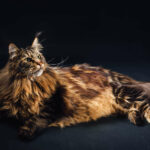 Maine Coon Mix : (21 Interesting Facts!) - Is My Cat Part Maine Coon?