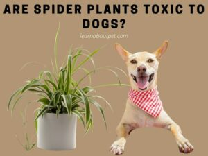 Are Spider Plants Toxic To Dogs