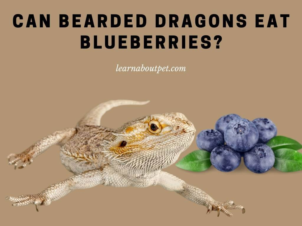 Can Bearded Dragons Eat Blueberries