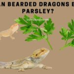 Can Bearded Dragons Eat Parsley? 10 Healthy Nutrients In Parsley