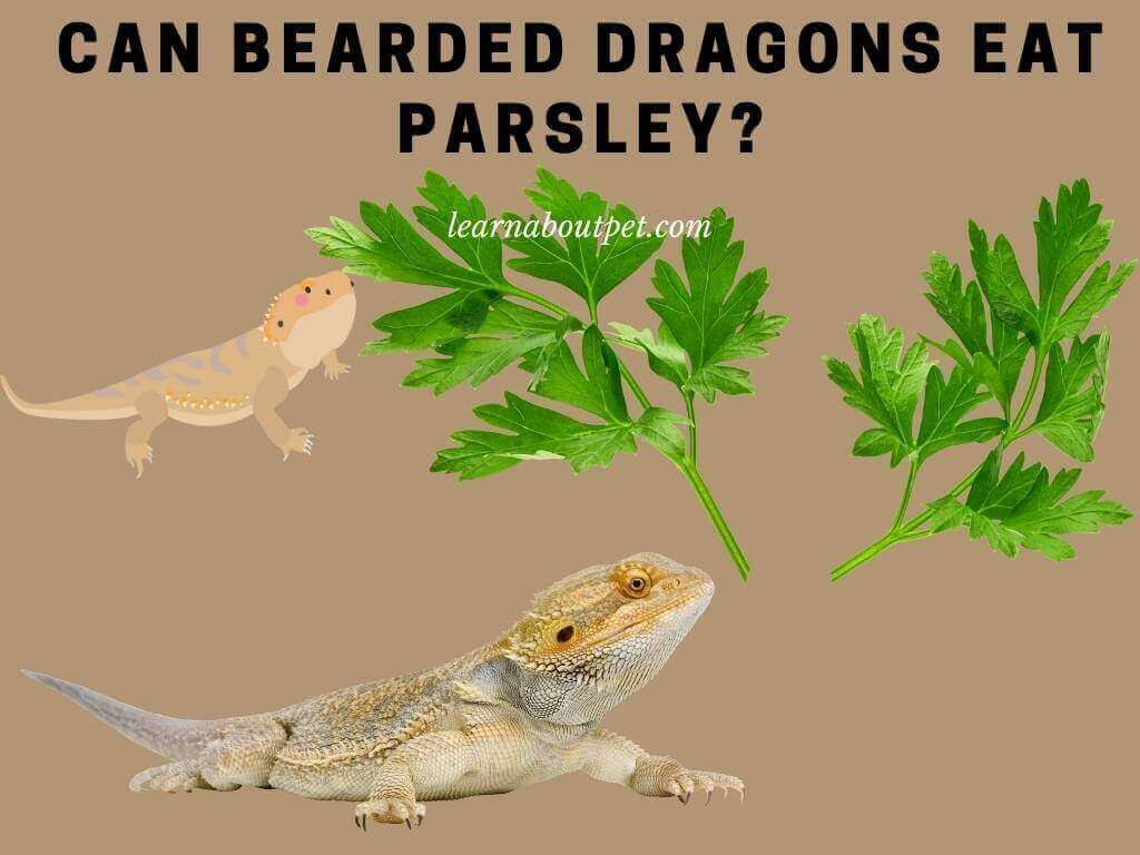 Can bearded dragons eat parsley
