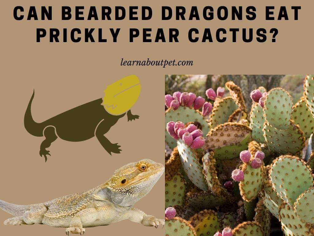Can bearded dragons eat prickly pear cactus