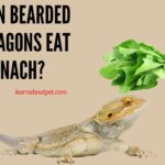 Can Bearded Dragons Eat Spinach? 3 Brutal Symptoms