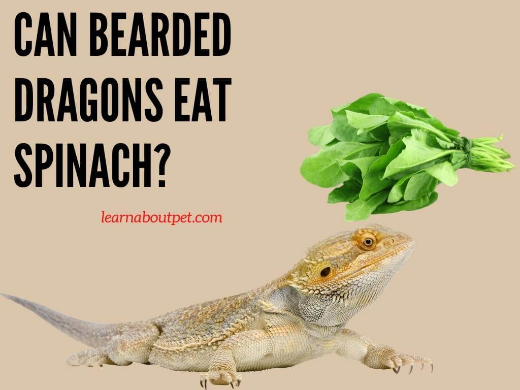 Can Bearded Dragons Eat Spinach