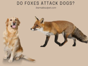 Do Foxes Attack Dogs
