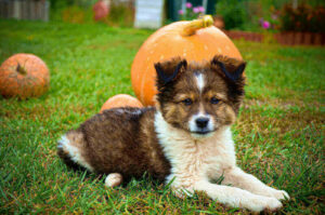 How Fast Does Pumpkin Work For Dog Constipation