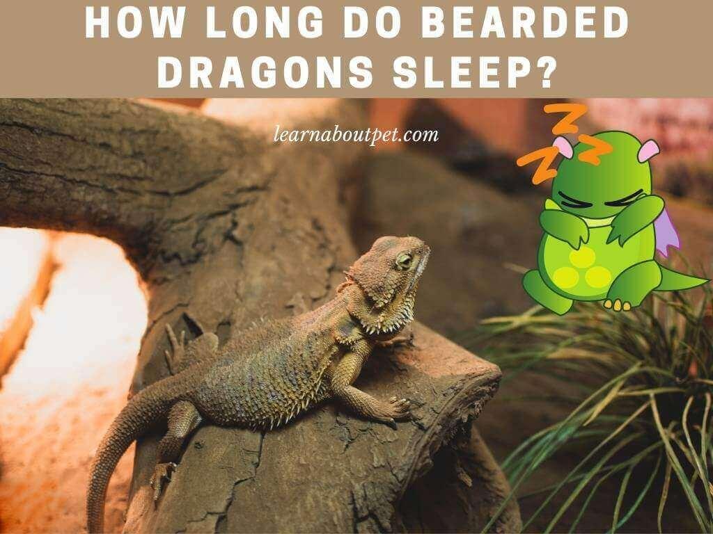 How long do bearded dragons sleep