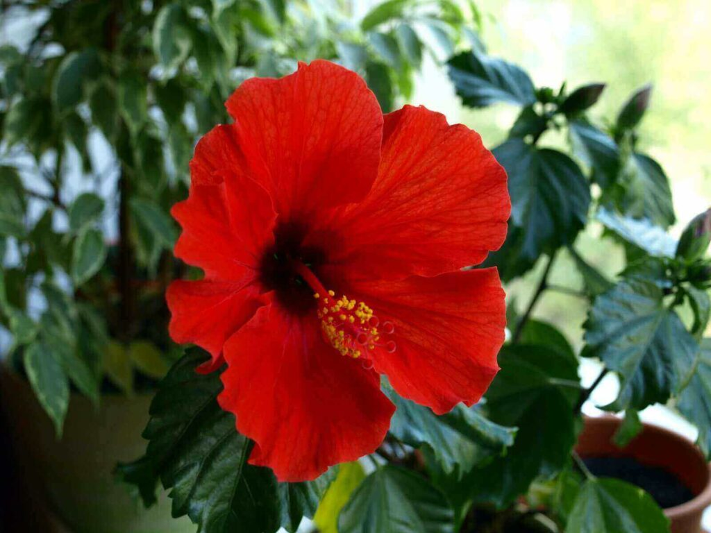 Is Hibiscus Poisonous To Dogs