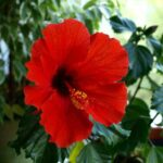 Is Hibiscus Poisonous To Dogs? (4 Menacing Symptoms)