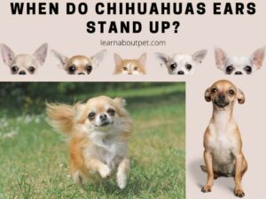 When Do Chihuahuas Ears Stand Up - chihuahua floppy ears - when do chihuahua puppies ears stand up