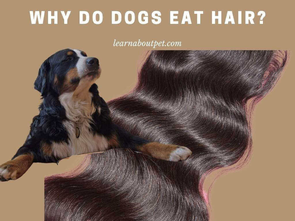 Why Do Dogs Eat Hair