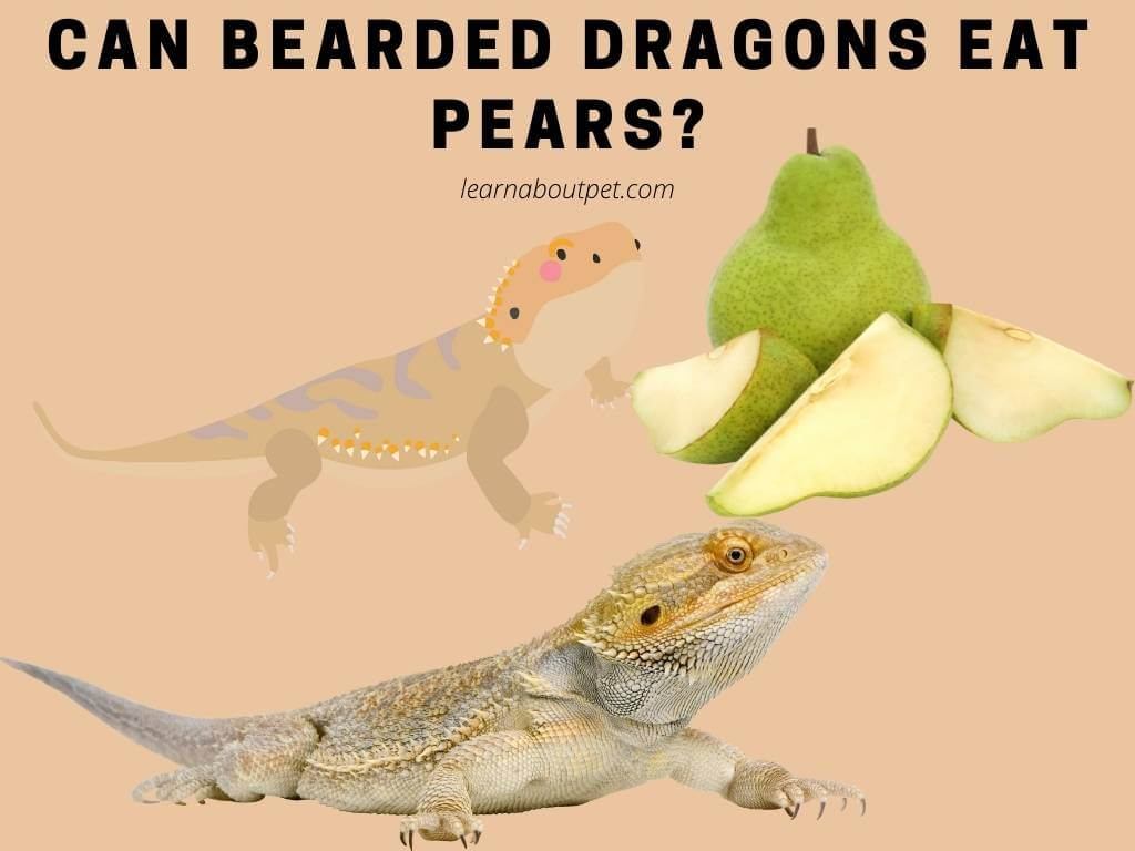 Can bearded dragons eat pears