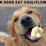 Can Dogs Eat Cauliflower? 6 Clear Health Benefits When Eaten In Moderation