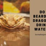 Do Bearded Dragons Drink Water? (9 Interesting Facts!)