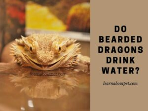 do bearded dragons drink water